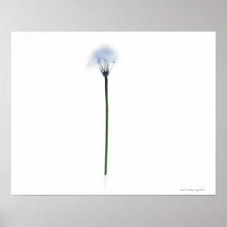 Dandelion stem on white background poster