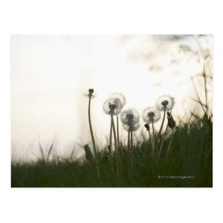 Dandelions against evening sky. postcard