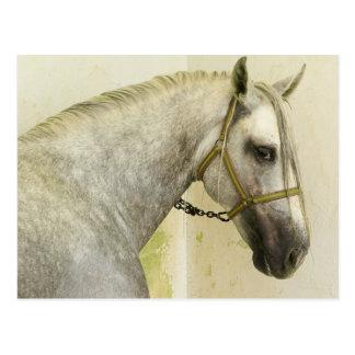Dapple Gray Andalusian Horse Postcard