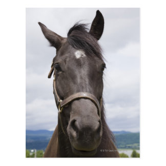 Dark Brown Horse Postcard