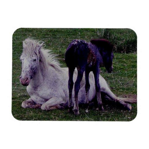 Dartmoor PonryGrey Mare Resting Foal Standing Flexible Magnet
