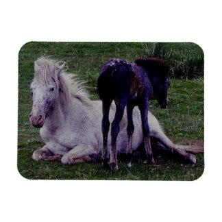 Dartmoor PonryGrey Mare Resting Foal Standing Rectangular Photo Magnet