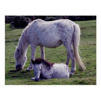 Dartmoor Pony Grey Mare Grazeing Foal Resting Postcard