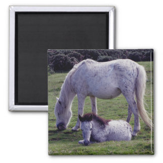 Dartmoor Pony Grey Mare Grazeing Foal Resting Square Magnet