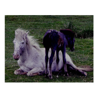 Dartmoor Pony Grey Mare Resting Foal Standing Postcard