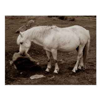 Dartmoor pony rubbing mouth on rock  ( sepia ) postcard