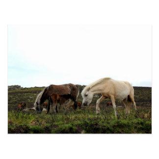Dartmoor Wild Ponies Postcard