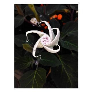 Datura Flower Bud Postcard