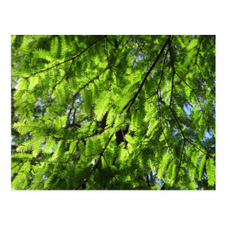 Dawn Redwood (Metasequoia) Postcard