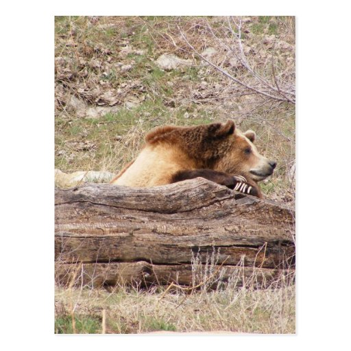 Day Dreaming Grizzly Post Cards