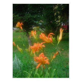daylilies of summer postcard