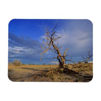 Dead Camel Thorn (Acacia Erioloba) Tree Rectangular Photo Magnet