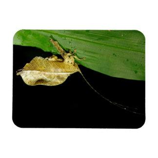 Dead Leaf Katydid Small Magnet