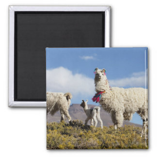 Decorated lama herd in the Puna, Andes mountains 3 Square Magnet