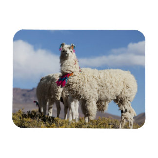 Decorated lama herd in the Puna, Andes mountains Rectangular Photo Magnet