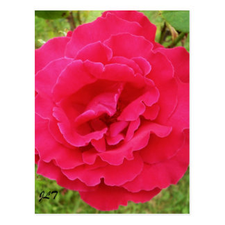 Deep Pink English Rose Postcard