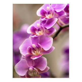 Deep Pink Phalaenopsis Orchid Flower Chain Postcard