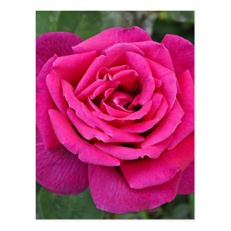 Deep pink single rose postcard