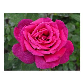 Deep pink single rose postcard