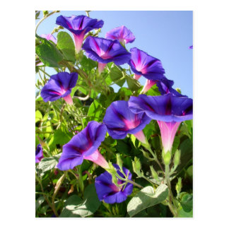 Deep Purple Morning Glory Climbing Plant Postcard