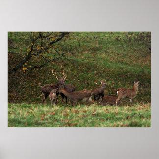 Deer at Studley Royal Deer Park, Yorkshire Poster