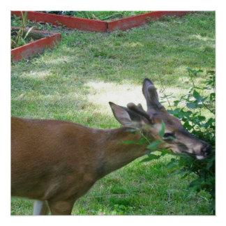 Deer Eating Rose Bush Perfect Poster