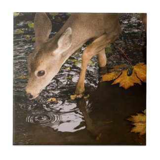 Deer Fawn in a Creek Tile