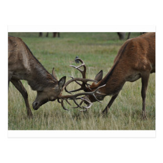 Deer Fight Postcard