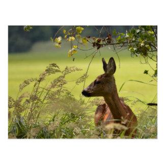 Deer Greetings Postcard