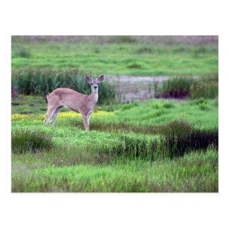 Deer in Field Postcard