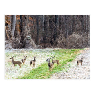 Deer in the Frost Postcard