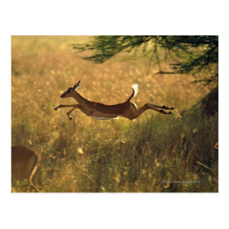 Deer leaping through field postcard