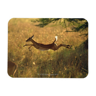 Deer leaping through field rectangular photo magnet
