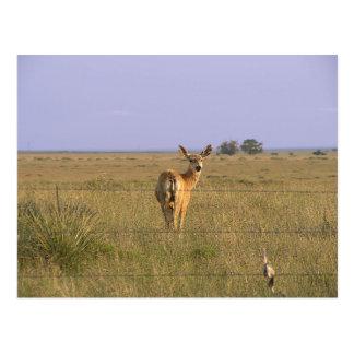 Deer Looking Back Postcard