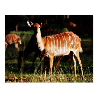 Deer Me Nyala Postcard