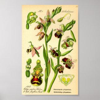 Défunte orchidée d'araignée (fuciflora d'Ophrys) Poster