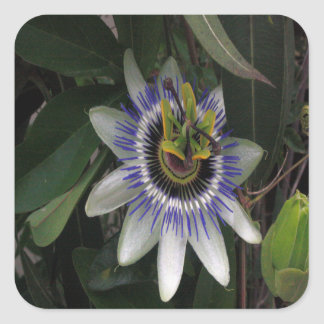 Delicate and Beautiful Passiflora Flower Square Sticker