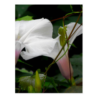 Delicate Morning Glories Postcard