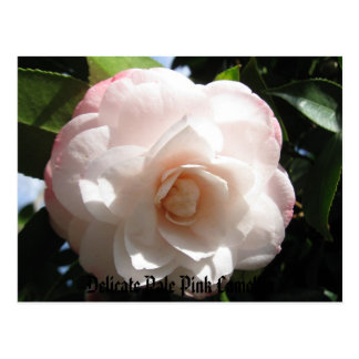 Delicate Pale Pink Camellia Postcard