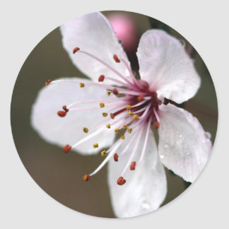 Delicate Pink Cherry Blossom Classic Round Sticker