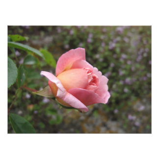 Delicate Pink Rose Bud Photo Print