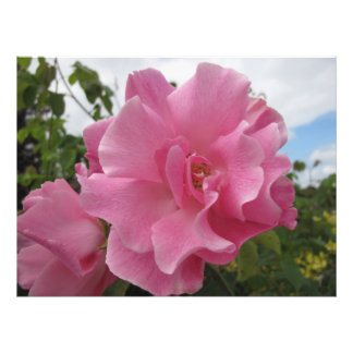 Delicate Pink Rose Photographic Print