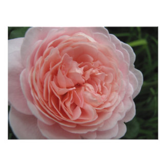 Delicate Pink Rose Photo Art