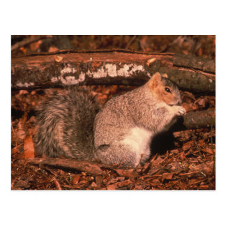Delmarva Penninsula Fox Squirrel Postcard
