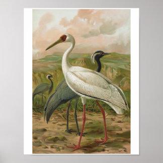 Demoiselle and Siberian Cranes Vintage Bird Poster