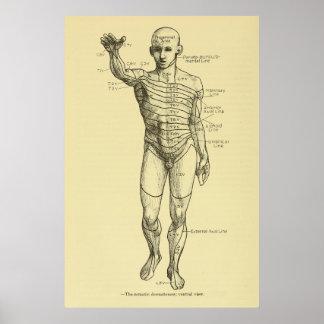 Dermatomes Nervous System Chart Chiropractic