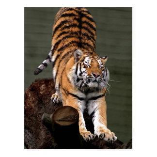 Description Panthera tigris altaica , Aalborg Zoo, Postcard