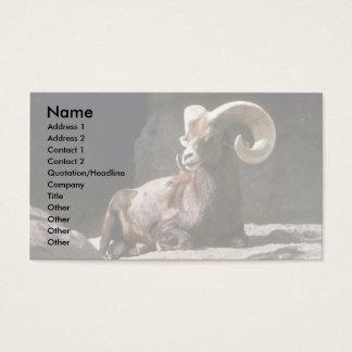 Desert bighorn sheep (Adult ram bedded down in sun Business Card