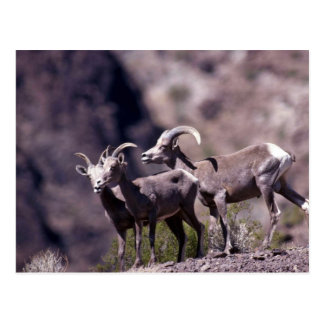Desert bighorn sheep (Small group) Postcard
