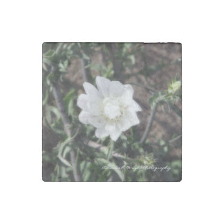 Desert Chicory Magnet